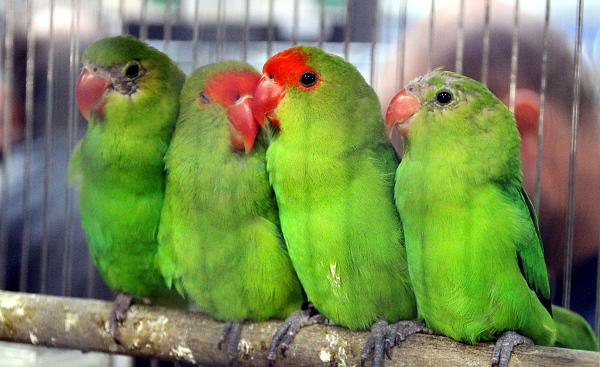 Agapornisů etiopských bylo na burze vícero, většinou šlo o velmi kvalitní ptáky (Foto: Jan Potůček, Ararauna.cz)