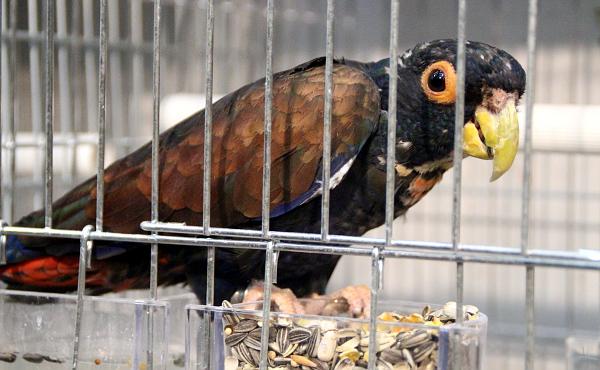 Mezi vzácnější prodávané druhy papoušků patřil i amazónek bronzovokřídlý (Foto: Jan Potůček, Ararauna.cz)