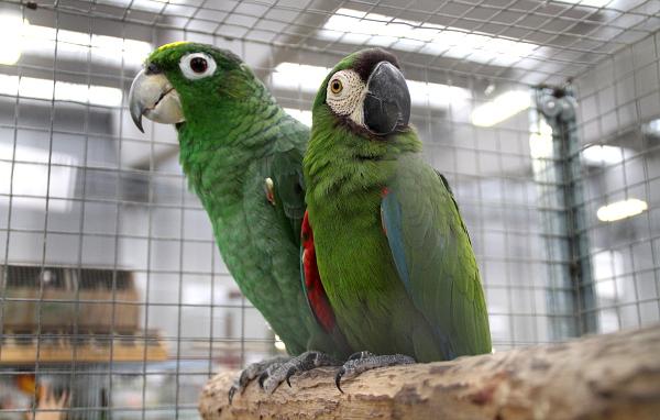 Někdy jsou arové menší než amazoňani. Třeba tento ara malý (vpravo) je vedle amazoňana pomoučeného vyloženě trpaslík. (Foto: Jan Potůček, Ararauna.cz)