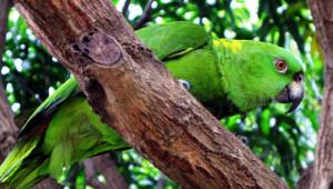Amazoňan žlutokrký Nikaragua