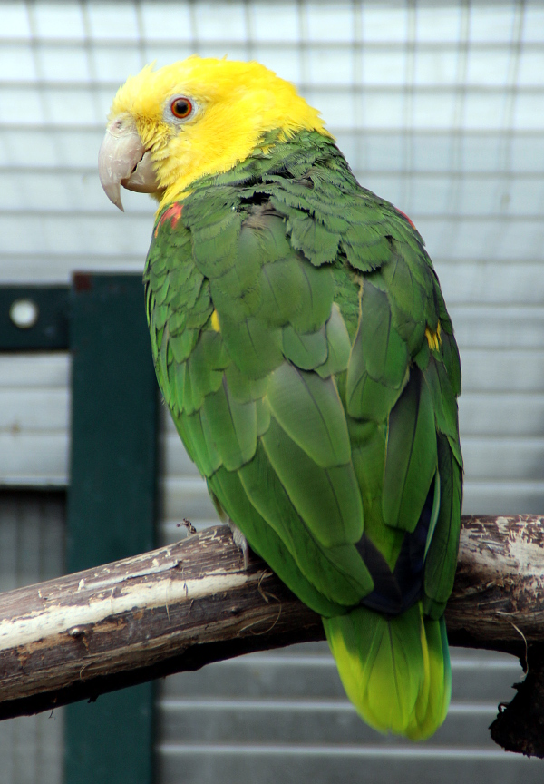 Nádherně vybarvený amazoňan velký (Foto: Jan Potůček, Ararauna.cz)