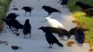 Kakadu mezi vránami