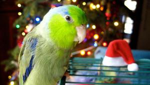 Papoušíček