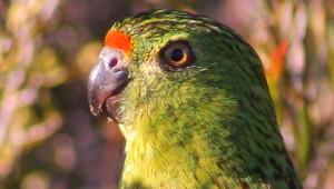 Papoušek zemní západní