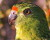 Australané poprvé po více než 100 letech objevili hnízdo papouška zemního západního