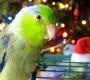 10 důvodů, proč papoušek není vhodným dárkem pod vánoční stromeček