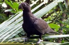 Papoušci se naučili používat oblázky, aby jimi nadrtili z mušlí minerální prášek
