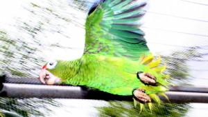 Amazoňan portorický vypuštěn do přírody