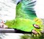 Amazoňan portorický už brzy nebude kriticky ohrožený, věří ochránci. Vypustili dalších 16 ptáků do přírody