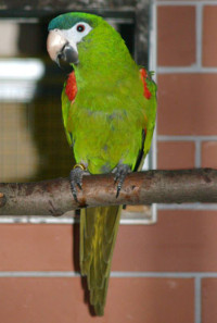 Ara amazonský