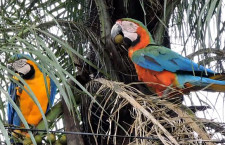 V brazilském městě Compo Grande létají divocí kříženci arů araraun a arů zelenokřídlých