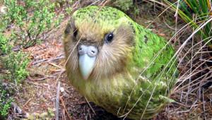 Kakapo soví Sindibad