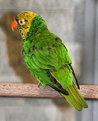 Lori žlutozelený