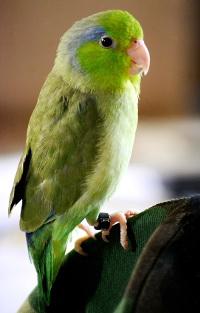 Papoušíček šedokřídlý