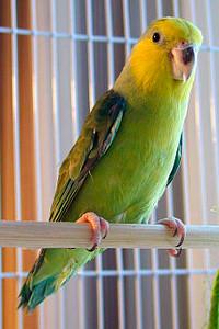 Papoušíček žlutolící