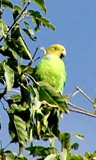 Papoušek žlutohlavý