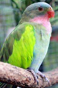 Papoušek Alexandřin