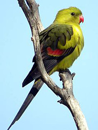 Papoušek kouřový