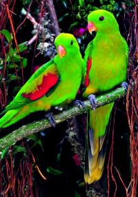 Papoušek timorský