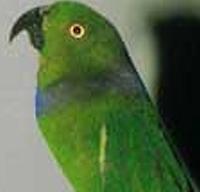 Papoušek zelenohlavý