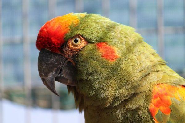 Ara červenouchý (Foto: archiv Patricia Do Nascimenta)