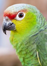 Amazoňan ekvádorský