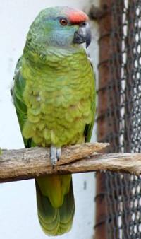 Amazoňan orinocký