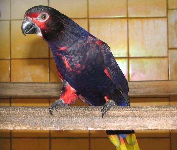 Lori černý iriánský (Chalcopsitta atra insignis) Foto: Iggino van Bael