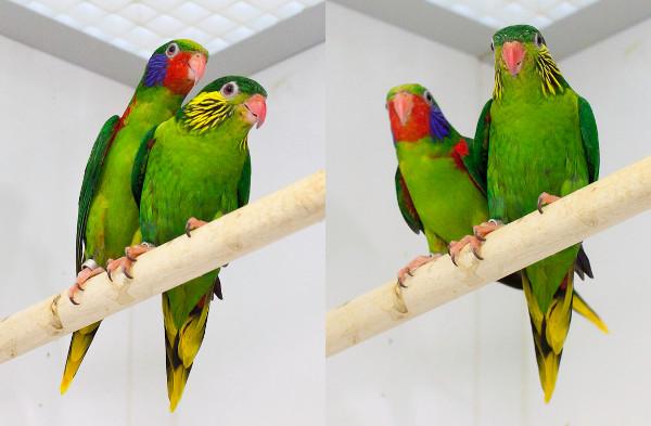 Chovný pár charmozinů červenobokých (Foto: Patric Marin)