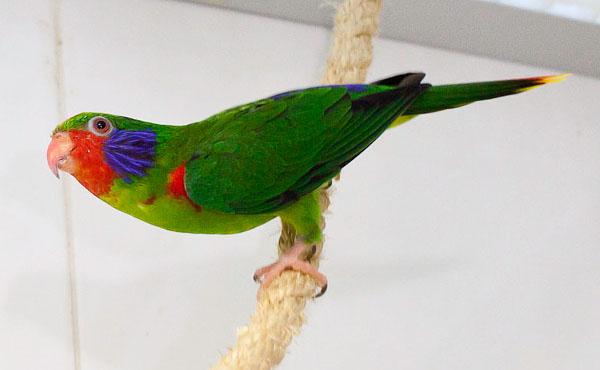 Charmozin červenoboký patří mezi častěji chované zástupce tohoto papouščího rodu (Foto: Patric Marin)