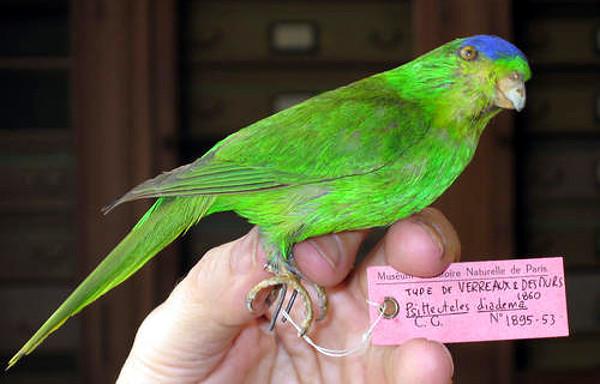 Jedna ze dvou dochovaných vycpaných samiček charmozina modrotemenného (Foto: Taenos.com)