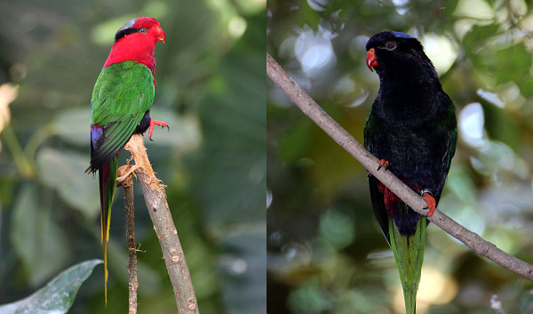 Charmozin papuánský: vlevo červená, vpravo melanistická forma (Foto: Lubomír Tomiška)