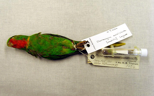 Rovněž charmozin rudokrký je patrně už vyhynulý (Foto: www.extinct-website.com)