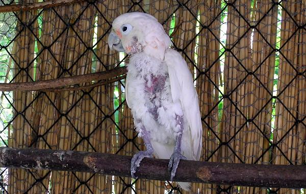 Ten samý kakadu Goffinův o čtyři roky později, po terapii v Laguně (Foto: archiv společnosti Laguna)