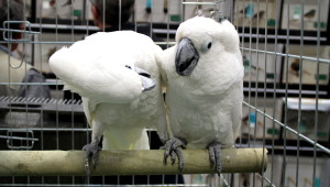 Kakadu bílý