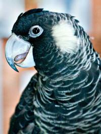 Kakadu dlouhozobý