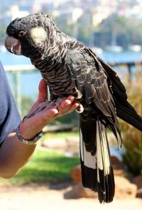 Kakadu krátkozobý