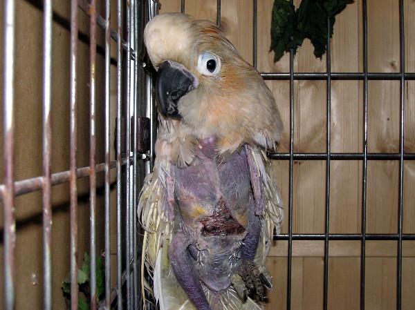 """Kakadu molucký """"Honzík"""" při příjmu na veterinární kliniku (Foto: archiv společnosti Laguna)"""