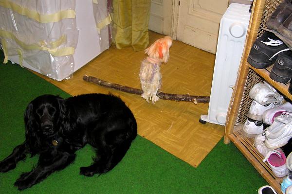 """V domácnosti Magdaleny Žohové si kakadu molucký zvykl na psa. """"Čekali na mě u dveří, než přijdu z práce,"""" vzpomíná zakladatelka společnosti Laguna. (Foto: archiv společnosti Laguna)"""