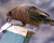 Sedm nestorů kea doplatilo na svoji hravost, když zkoumali pasti na lasice