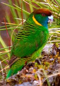 Papoušek Lorentzův