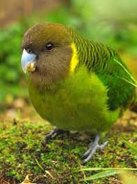 Papoušek malovaný