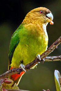 Papoušek perličkový
