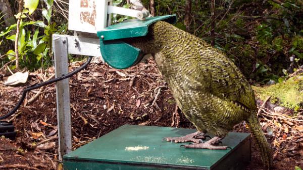 Konec příbuzenského křížení kakapů? Vědci chtějí analyzovat genomy všech 125 žijících ptáků