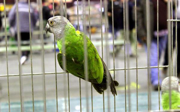 Ve Zwolle nechyběl ani papoušek senegalský (Foto: Luboš Tomiška, ParrotsDailyNews.com)