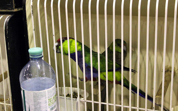 Papoušek červenotemenný (Foto: Luboš Tomiška, ParrotsDailyNews.com)