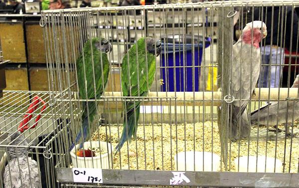 Alexandři čínští a kakadu růžový (Foto: Luboš Tomiška, ParrotsDailyNews.com)