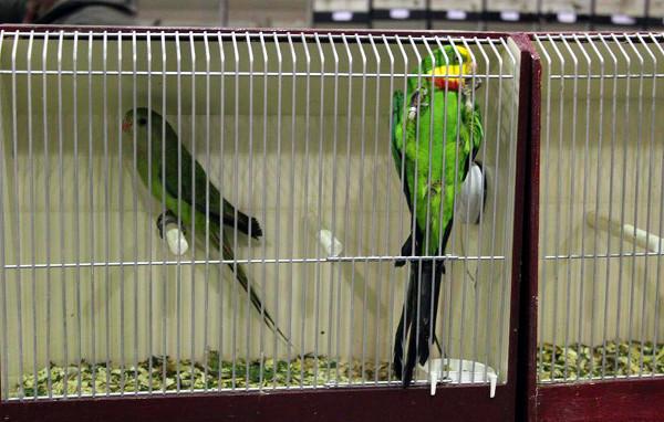 Prodejný pár papoušků nádherných (Foto: Luboš Tomiška, ParrotsDailyNews.com)