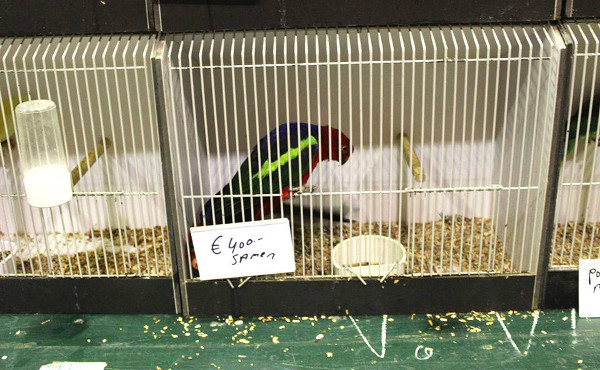 Papoušek karmínový (Foto: Luboš Tomiška, ParrotsDailyNews.com)