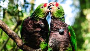 Amazoňan vínorudý v brazilském národním parku